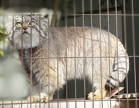東山動植物園のマヌルネコ