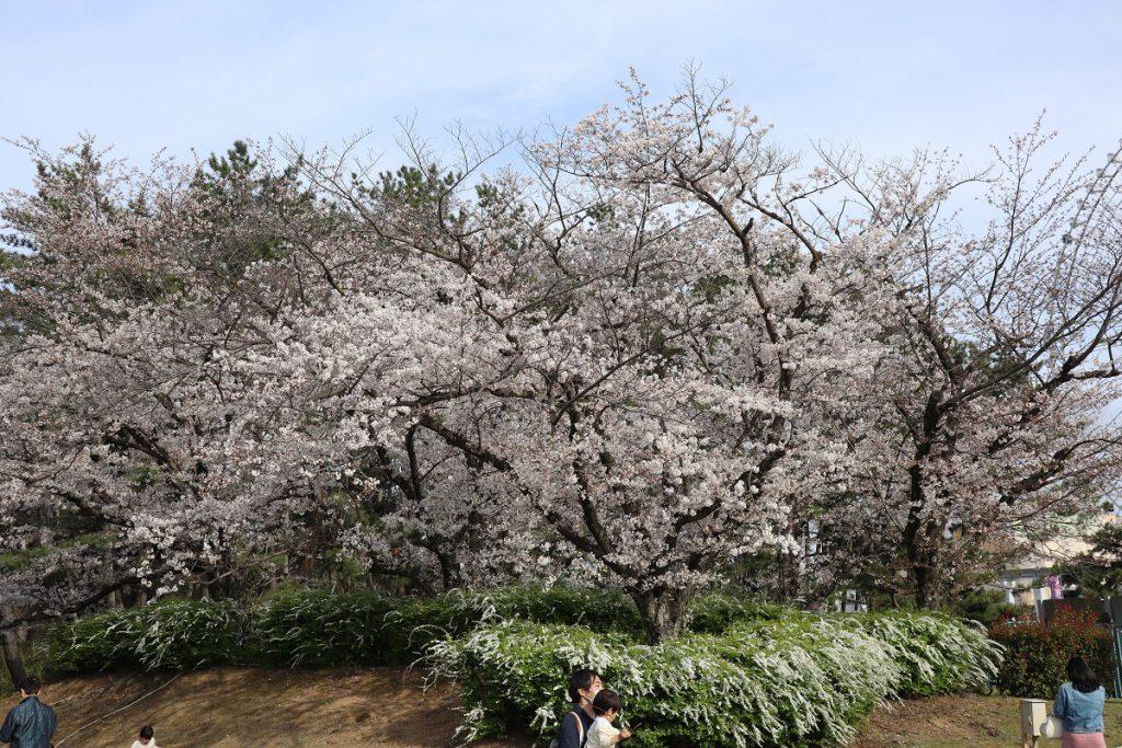 万博記念公園の桜 - 1