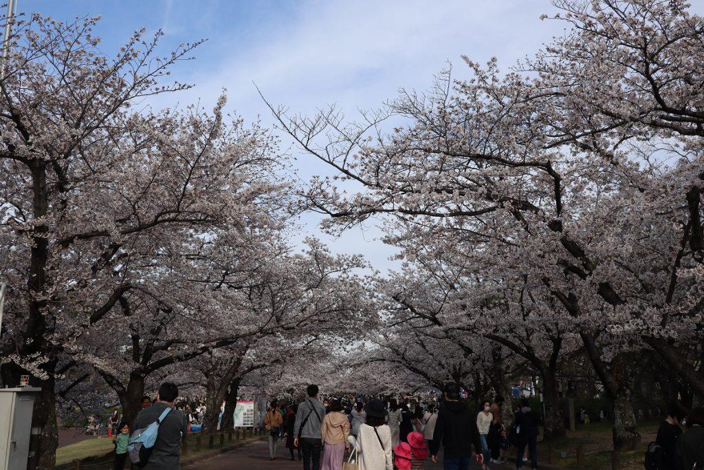 万博記念公園の桜 - 2