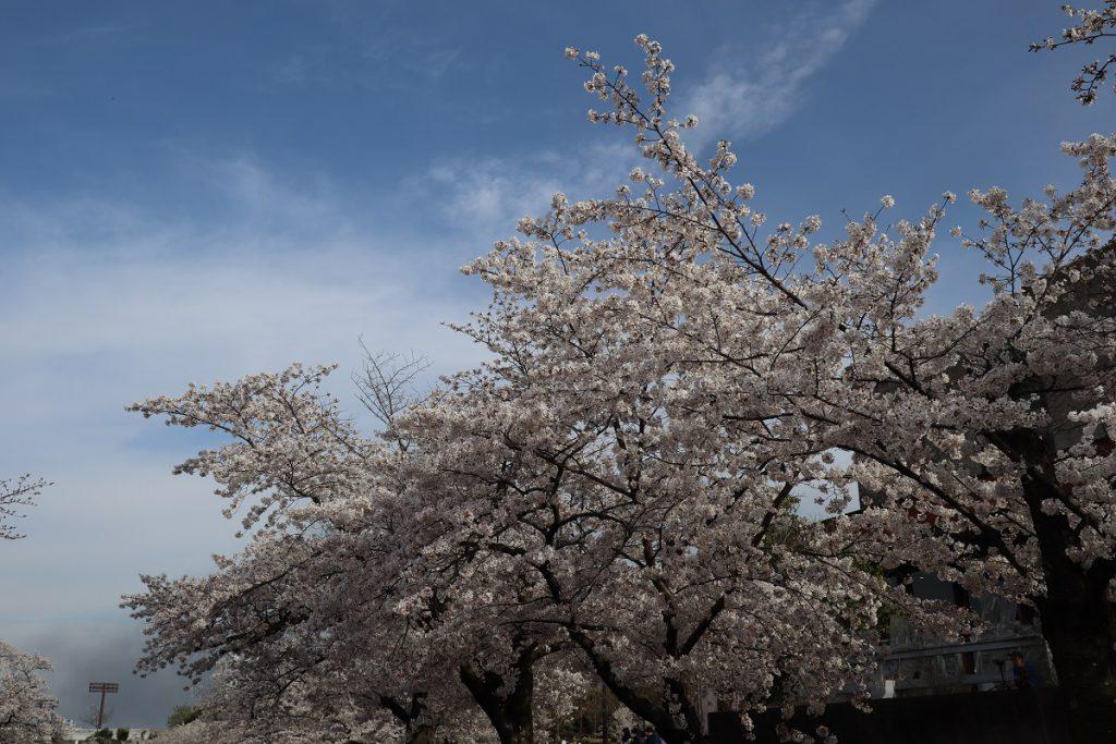 万博記念公園の桜 - 3
