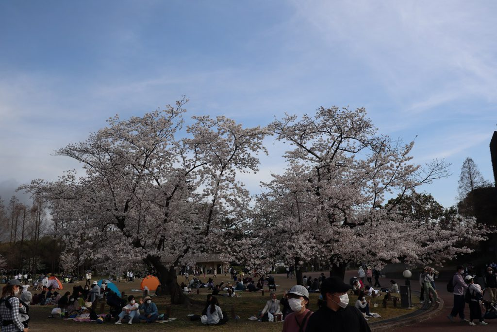 万博記念公園の桜 - 5