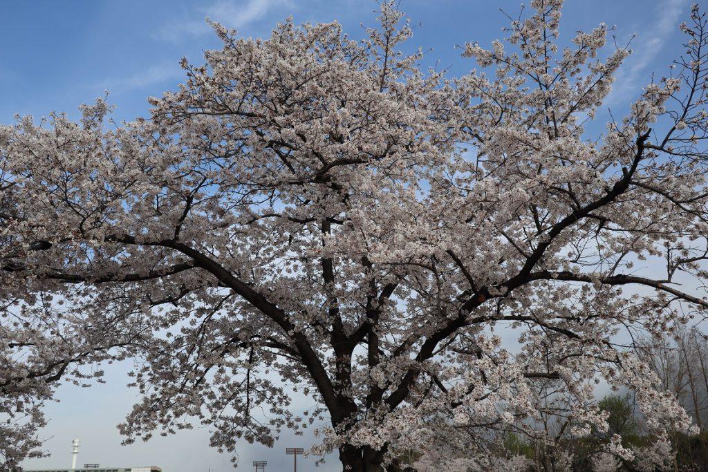 万博記念公園の桜 - 6
