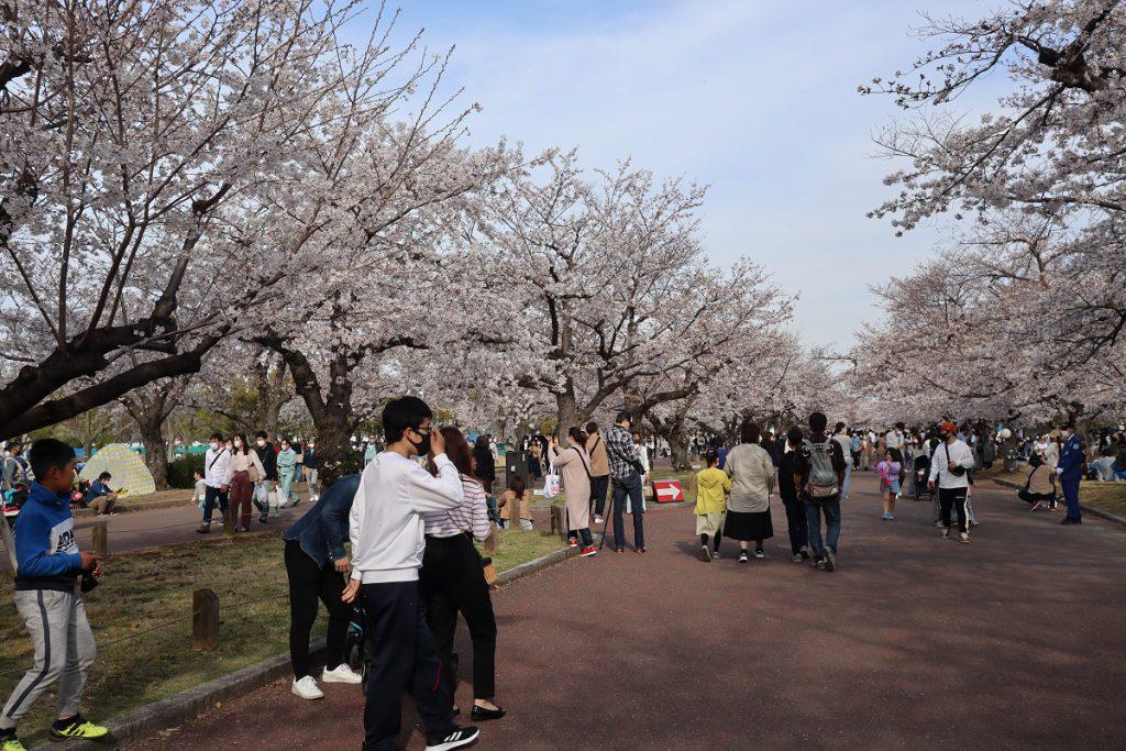 万博記念公園の桜 - 7