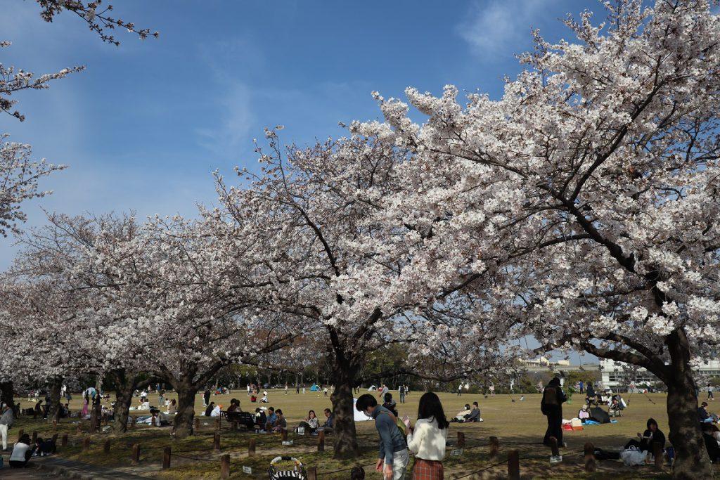 万博記念公園の桜 - 8