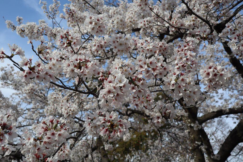 万博記念公園の桜 - 9