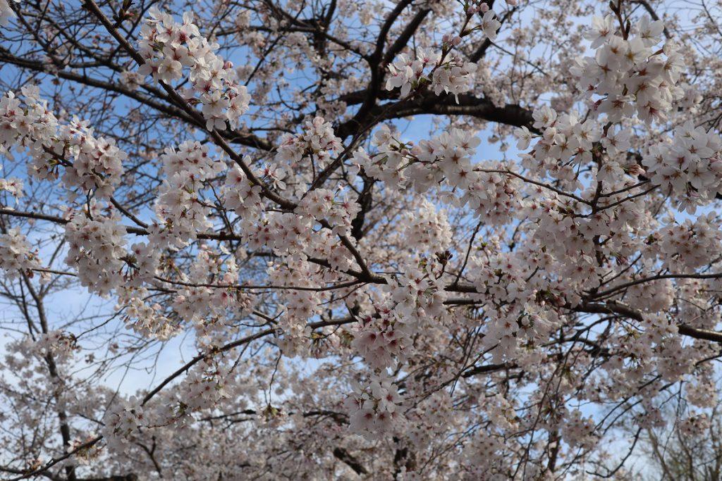 万博記念公園の桜 - 11