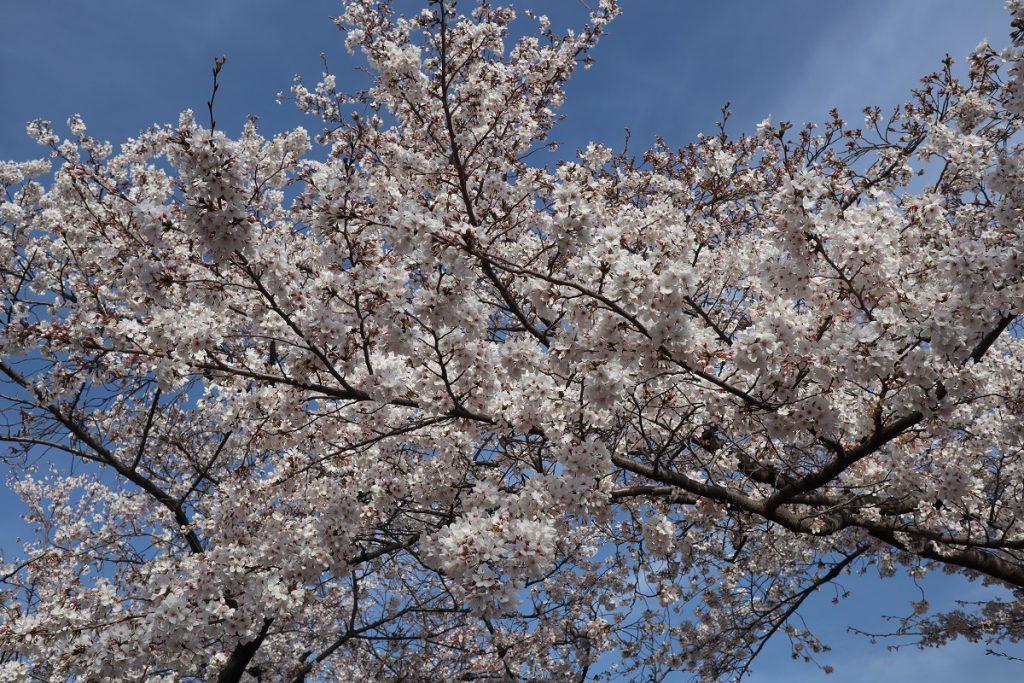 万博記念公園の桜 - 12