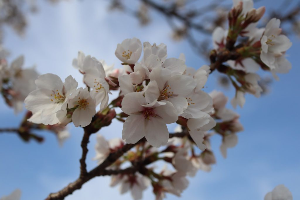 万博記念公園の桜 - 13