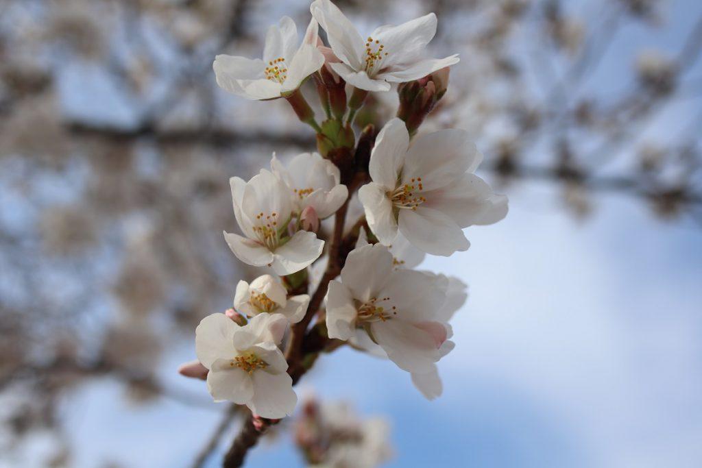 万博記念公園の桜 - 14