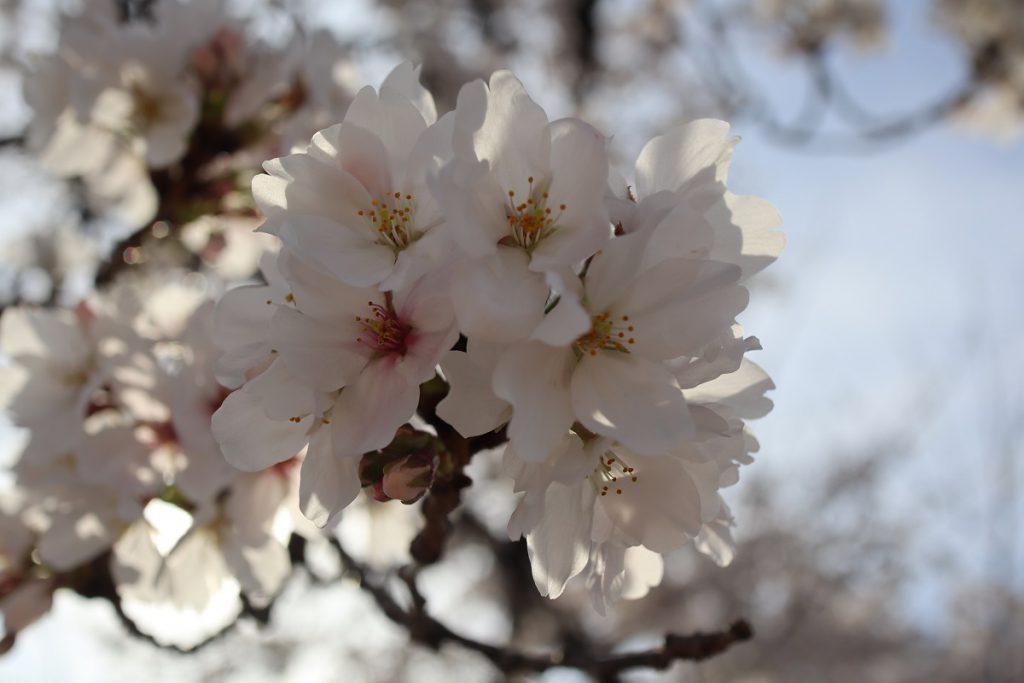 万博記念公園の桜 - 15