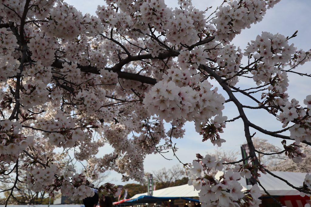 万博記念公園の桜 - 16