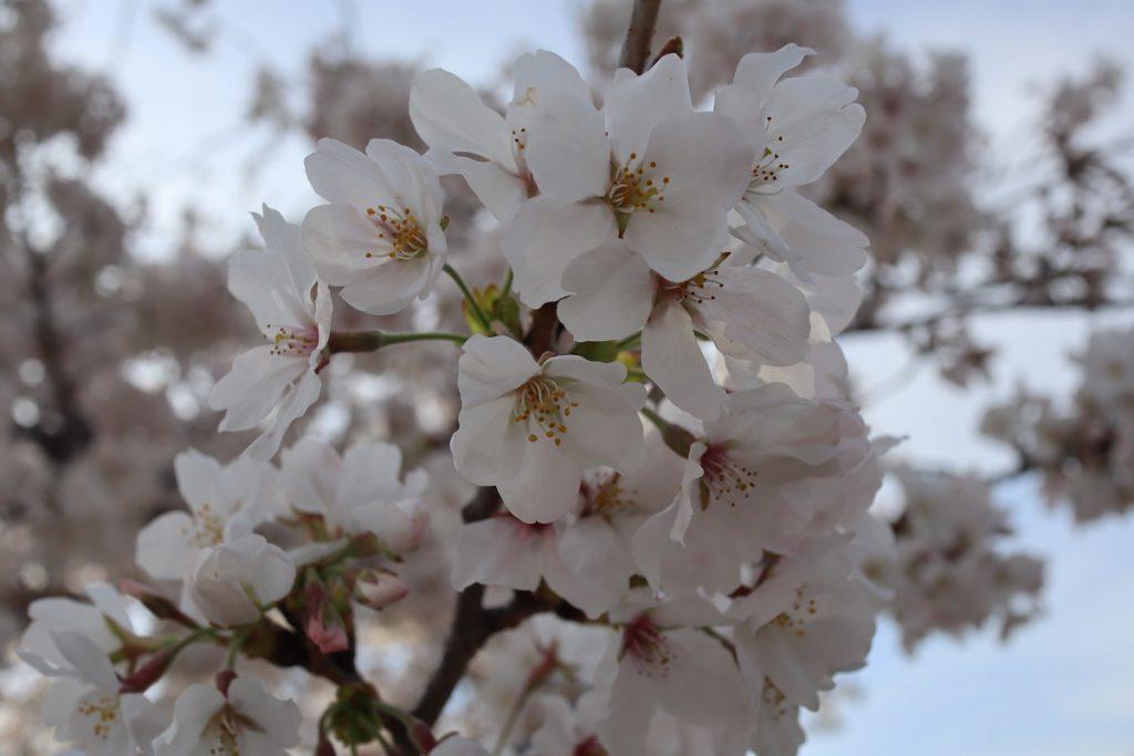 万博記念公園の桜 - 17